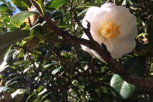camellia sinensis pianta del te foto1