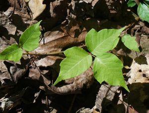 edera velenosa rhus toxicodendron foto1