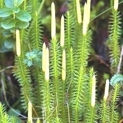 licopodio lycopodium clavatum omeopatia foto2