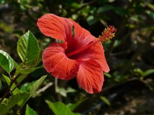 pianta di altea althea officinalis foto2