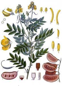 cassia angustifolia senna proprieta foto1