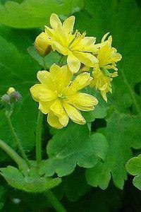 chelidonia-proprieta-usi-foto1