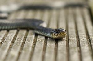 sognare serpenti significato interpretazione foto1