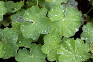 alchemilla vulgaris 10 benefici foto2