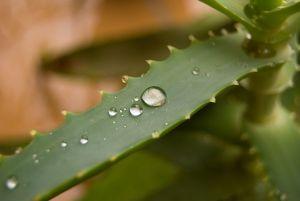 proprieta piante di aloe arborescens foto1