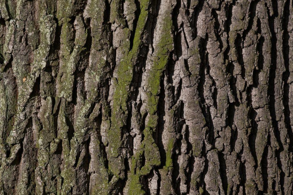disfunzione erettile della corteccia di albero