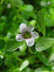 pianta bacopa proprieta benefici foto1